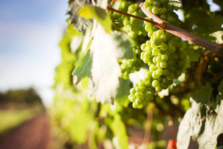 9: Vinos Orgánicos Y Vinos Artesanales